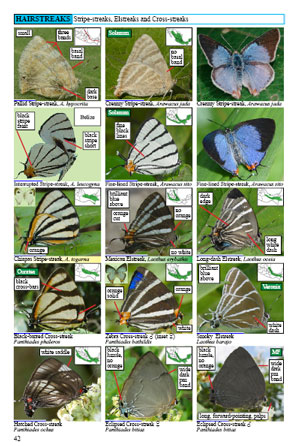mexican butterflies page 42